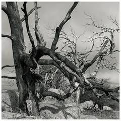 Trunks (GrisFroid) Tags: landscape plain trees deadtrees monochrome bw pentax 645d