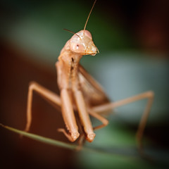 mantis (Juliovet) Tags: mantis macro macrofotografa macrophoto insect nikond300s sigma105mm