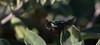 Darth Vader (harefoot1066) Tags: coleoptera polyphaga scarabaeoidea scarabaeidae cetoniinae fruitandflowerchafer gymnetini cotinis cotinismutabilis greenfruitbeetle figeaterbeetle