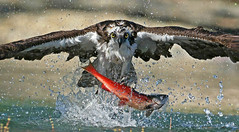 Welcome to My World (ken.helal) Tags: greifvogel fisch