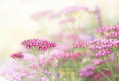Achillea (Jane Dibnah Botanical Art) Tags: achillea floral flowers pink summer gardenphotography gardenflora macro nationaltrustgarden powiscastle garden