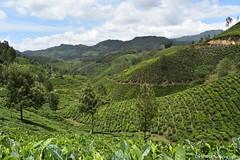 Tea Estates in Munnar (Dinesh flicks) Tags: munnar munnarphotos munnarscenaries munnartouristspot devikulam topstation amaravathidam chinnarwildlifesanctuary thekkady dinesh photography kerala