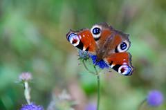 Peacock butterfly (jukkarothlauronen) Tags: butterfly summer sweden nikon småland
