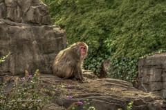 Japanese Macaque - Snow Monkey (Carol Matthai Photography) Tags: centralparkzoocentralpark zoo animals wildlife nature japanesemacaque macaque snowmonkey monkey newyork honshu nyc