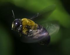 Bee_SAF7331-2 (sara97) Tags: missouri bee copyright2016saraannefinke flyinginsect insect nature outdoors photobysaraannefinke pollinator saintlouis towergrovepark
