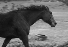 Ems Horses Large-7039 (Andrew Pirola) Tags: minolta beercan horse running gallop sony a7rii nature animals 70210mm action