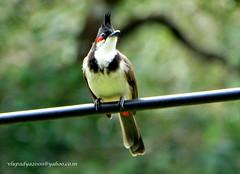 DSC09331 Red-whiskered Bulbul (Pycnonotus jocosus) (vlupadya) Tags: greatnature aves fauna indianbirds red whiskered bulbul pycnonotus jocosus hangloor