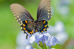 Pipevine Swallowtail (RockOnMonster) Tags: nature wildlife outdoors outside butterfly pipevineswallowtail battusphilenor louisiana northwestlouisiana insect insects bug bugs plumbago flower flowers
