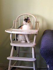 I Hope She Doesn't Expect Me To Feed Her Like This (pam's pics-) Tags: pamspics pammorris patsy cat kitty feline iphone6s appleiphone cameraphone mobilephonephotography highchair pet domesticcat calico