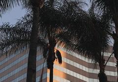 DT LA (bbandaa) Tags: dtla dt la california losangeles palm trees building architecture artarchitecture urbanromantix urban downtown sky summer pastel neutral peachy