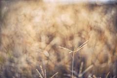 (M.K. Design) Tags:  mk                 taiwan mkdesign bokeh nature macro tele primelens nikon d800e landscapes autumn fall plant afs 105mmf14e ed