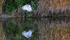 Up And Away (Wes Iversen) Tags: greategrets htt michigan saginaw shiawasseenationalwildliferefuge tamron150600mm texturaltuesday bird birds birdsinflight egrets grasses reflections water wildlife