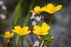 Sumpfdotterblume (Caltha palustris) (blumenbiene) Tags: plant pflanze flowers blüten blüte flower boga botanical garden botanischer garten dresden saxony sachsen sumpfdotterblume caltha palustris marshmarigold kingcup