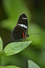 Heliconius perched on Pentas leaf (jungle mama) Tags: heliconius tropicalbutterflies black white red green leaf wingsofthetropics pentas fairchildtropicalbotanicgarden fairchildgarden heliconiusantiochus dart ngc coth5