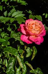 summer's final bloom (pbo31) Tags: livermore eastbay alamedacounty rose garden flower bloom season green red ending macro drop growth nature california nikon d810 september 2016 summer boury pbo31 dark black color