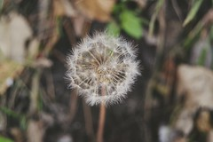 Dandelion (Ayeshadows) Tags: dandelion woods darkness delicasy fragile outdoor