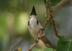 Pycnonotus jocosus-Red-whiskered Bulbul (Aviantic) Tags: bulbul redwhiskered