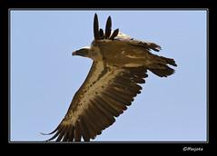 2012-07-04--082-Leonado (Masjota65 (J.Miguel) +300.000 vistas, gracias) Tags: vulture scavenger buitreleonado buitre buitres rapaz rapacious rapace limpador vautour abutre carroero voraz carroeros leonados charrognard