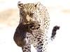 A Mother's Resolve (sole riley) Tags: africa travel wild baby love beautiful leopardo cub kitten sad ngc mother adorable free safari leopard bigcat botswana majestic amore leopardcub nationalgeographic cucciolo mombo naturesfinest mfcc okavangodelta specanimal specanimaliconoftheweek legadema eyeoftheleopard coth5 sunrays5