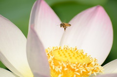 Bee and Lotus Flower 2 (mjustiniano1) Tags: flower macro nikon lotus bee landing micro pollination 70300vr kenilworthacquaticgardens d7000