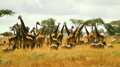Kenya 1977 - Tsavo West National Parks - Giraffe herd with Zebras (edk7) Tags: africa kenya slide giraffe herd nikkormat ft2 197708 edk7 af248