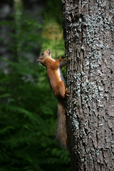 (akinnahh) Tags: tree cute animal squirrel climbing orava kurre