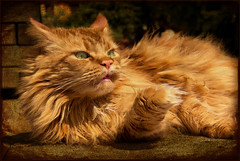 One cannot always be glamorous ! (FocusPocus Photography) Tags: cute texture tongue cat canon ginger funny paddy lol mainecoon katze zunge glamorous longhaired textur 60d langhaarkatze joessistah