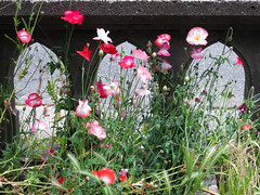 Concrete Railing and Poppies, Central District, Seattle (Blinking Charlie) Tags: seattle flowers usa arcade poppies washingtonstate salvage 2012 centraldistrict wildoats threeofakind 3ofakind concreterailing centralarea canonpowershots100 radiopoint tudorarch blinkingcharlie eunionstreet