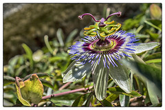 IMG_0051a (© vivids / Getty Images Contributor) Tags: flower nature passiflora fiori eos650d