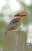 kingfisher (JoCo Knoop) Tags: africa south kingfisher tembe freedomtosoarlevel1birdsonly freedomtosoarlevel3birdsonly freedomtosoarlevel2birdsonly freedomtosoarlevel4birdsonly