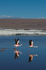 Flying? Running? (zzziah) Tags: travel animals landscape desert salinas andes saltflats uyuni