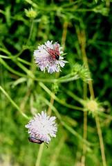 Six Spot Burnet (Nathan Briggs) Tags: flower colour nature dof moth wiltshire sixspotburnet fujixpro1