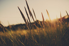 [151/366] (Manuel Gutjahr) Tags: sun plant nature grass 35mm nikon dof sundown 14 pflanze depthoffield manuel gras nikkor gegenlicht d800 halm 366 gutjahr project366