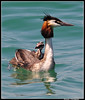 All Aboard - Great Crested Grebe Mother and Baby. (dralun10) Tags: ngc lakegarda greatcrestedgrebe mfcc thegalaxy babygrebe avianexcellence fabuleuse mygearandme mygearandmepremium mygearandmebronze mygearandmesilver allofnatureswildlifelevel1 allofnatureswildlifelevel2 allofnatureswildlifelevel3 allofnatureswildlifelevel4 allofnatureswildlifelevel5