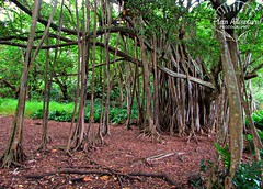 Banyan Tree (Plain Adventure) Tags: hawaii maui sevensacredpools oheogulch haleakalanationalpark