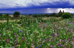 Contrasting (Vide Cor Meum Images) Tags: flowers england field rain clouds leicestershire poppies wildflowers storms cor vide marketharborough hs20 dingley meum markcoleman hs20exr mac010665yahoocouk videcormeumimages