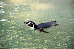 Humboldt Penguin (scara1984) Tags: zoo antwerp 10102010 scara1984