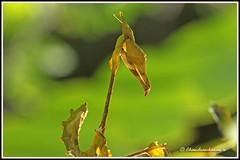 2382 - praying mantis (chandrasekaran a) Tags: india macro nature canon mantis praying insects chennai tamron90mm thegalaxy 60d