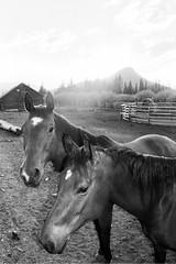 Horses (yung singh) Tags: ranch horses blackandwhite bw horse sun white black barn forest pen photography nikon kodak trix 400tx national kz shoshone usfs n65 shoshonenationalforest unitedstatesforestservice kbarz photocontesttnc12