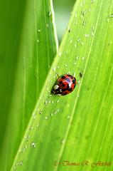 Ladybug on Green (travelphotographer2003) Tags: plant green nature closeup bug insect leaf beetle ladybird ladybug aphid ladybirdbeetle coccinellidae pestcontrol ladybugbeetle 18spotted