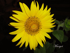 GIRASOLE (Margcoss) Tags: flower nature yellow yellowflower giallo sunflower fiore girasole sonysti rememberthatmomentlevel1 rememberthatmomentlevel2 rememberthatmomentlevel3 flowerthequietbeauty