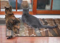 Gracie & Millie 5 August 2012 0014b 5x7 (edgarandron - Busy!) Tags: cats cute cat gracie feline tabby kitty kitties tabbies millie graytabby patchedtabby