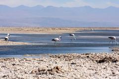 Flamingos in Laguna Chaxa, Chile (sensaos) Tags: chile travel naturaleza bird nature birds animal america de san chili desert south flamingo salt vogels natuur pjaros pedro atacama desierto amerika region flamenco sal vogel 2012 zuid pjaro zout sensaos