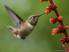 Allen's Hummingbird (Bob Gunderson) Tags: sanfrancisco california goldengatepark birds northerncalifornia hummingbirds botanicalgardens soe naturesfinest allenshummingbird selasphorussasin fantasticnature animalkingdomelite birdperfect