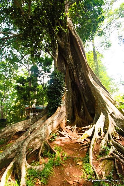Guess How Old This Tree Is? At Periyar Tiger Reserve, Thekkady, Kerala