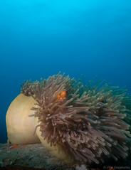 IMG_9024.jpg (Vaajis) Tags: coral underwater diving malaysia tioman anemonefish seaanemone 2010