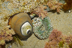Limpet and Anenome (charles25001) Tags: ocean nature shell sealife tidal limpet keyholelimpet