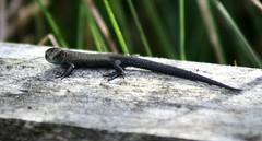 Common Lizard (niknok2007...) Tags: wild summer nature reptile yorkshire young lizard moors common commonlizard hatfieldmoors niknok2007