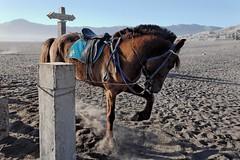 Spirited horse, Tengger