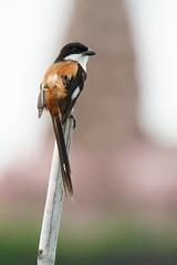 Long-tailed Shrike (Lanius schach longicaudatus) (Dave 2x) Tags: thailand shrike laniusschach longtailedshrike rufousbackedshrike daveirving laniusschachlongicaudatus httpwwwdaveirvingwildlifephotographycom
